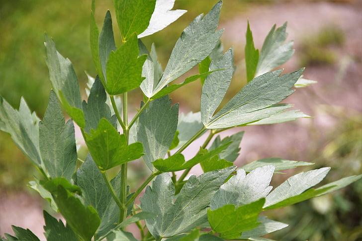 ligurček, levisticum, Herb, korenie, Záhrada, rastlín, expresívne