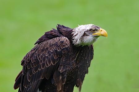 kalju kotka, Eagle, lintu, eläinten, Wildlife, Raptor, Wild