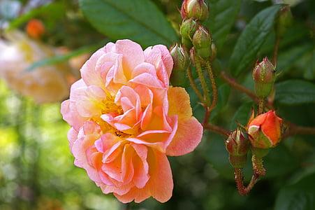 ghischlaine de filigonde, tõusis, rampler rose, rampler, ronimine roos, pakkumise, lillepeenar