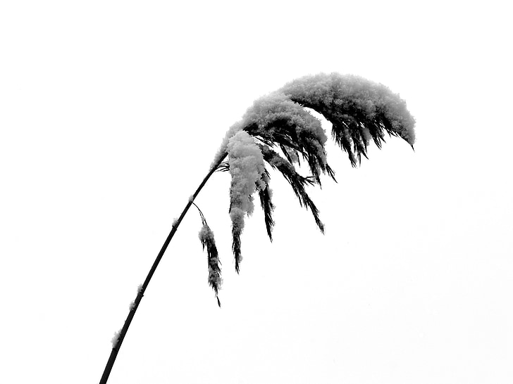 reed, snow, cold, winter, wintry, landscape, white