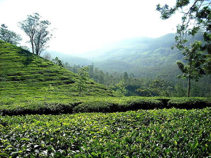 tea plantation, tea, plantation, india, hills, green