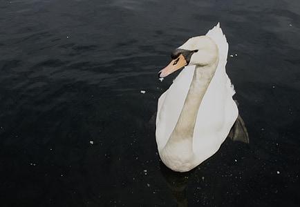 Cigne, ocell d'aigua, l'aigua, ocell, natura, vida silvestre, blanc