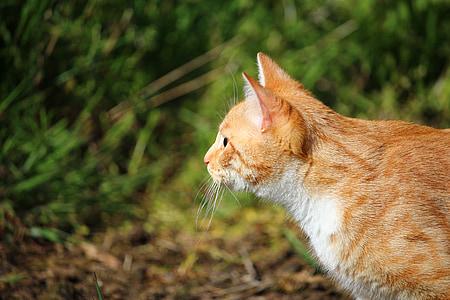 cat, kitten, red cat, red mackerel tabby, mackerel, young cat, domestic cat