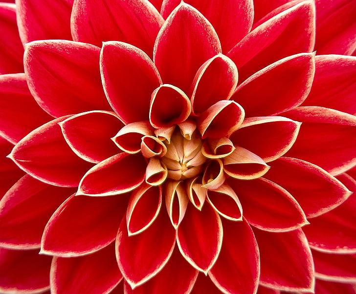Dahlia, krmení veverek v zimě, podzim, hvězdnicovité, Květinová zahrada, okrasné květiny, Dahlia zahrada