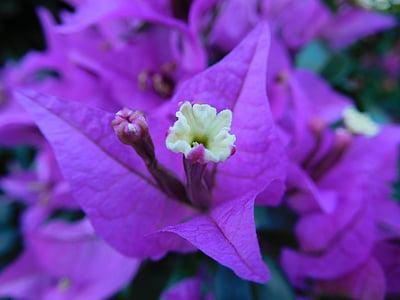 Bougainvillea, virág, növény, Flóra, Bloom, botanikus, lila