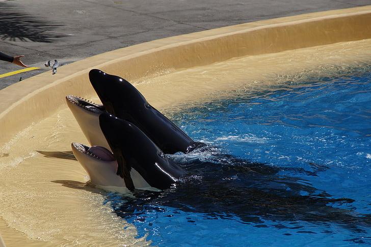 ORKA, Вбивця китів, вбивця, жебрацтво, фут, зуб, басейн