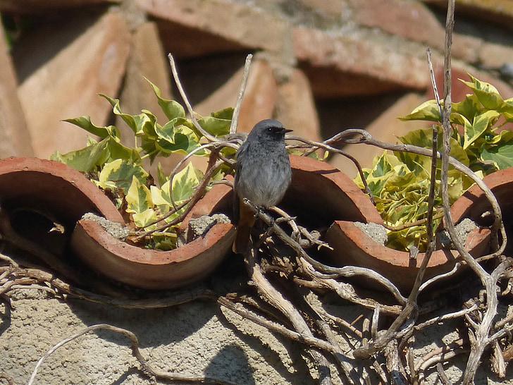 черен redstart, phoenicurus ochruros, птица, бръшлян