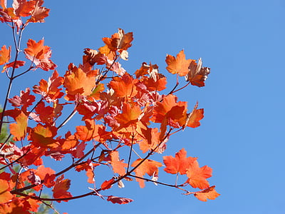 sicòmor, fulles vermelles, tardor, cel, bellesa, color de la tardor