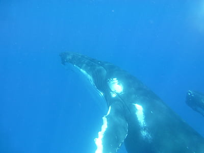 humpback whale, whale, cetaceans, marine, mammal, wildlife, pacific