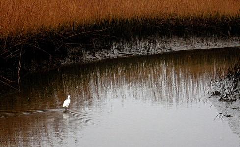 myr, dammen, fuglen, egret, myr, Mud, våtmarksområde