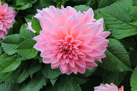 dahlia, big beautiful chrysanthemum, pink, flowers, yellow flower, garden, spring