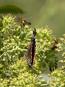 papallona, Atalanta, Vanessa atalanta, abella, volar l'abella, Libar, Heura