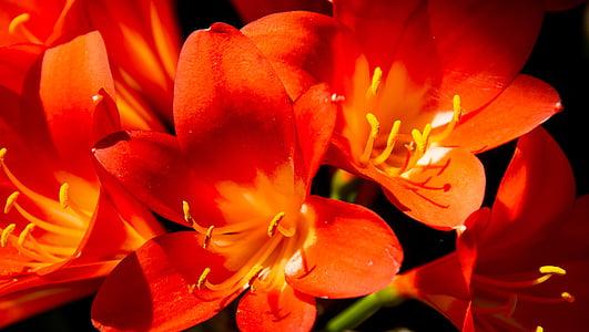 clivia, lill, Bloom, oranž, ere, Aed, kevadel