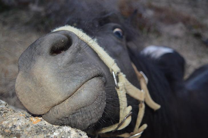 cavall, cara, arnès, cara divertida, fotos divertides, nas, narius