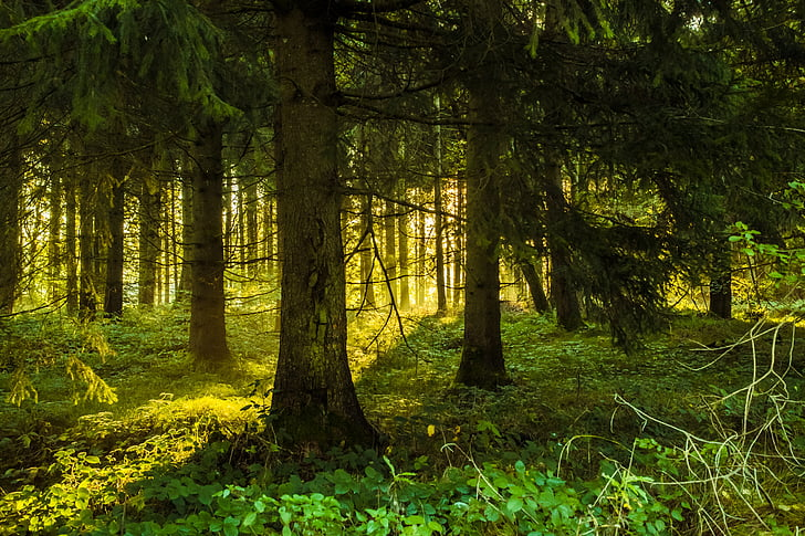 trees, forest, lighting, sunrise, nature, landscape, gloomy
