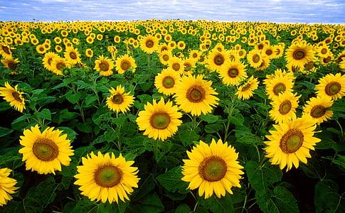向日葵, 向日葵田, 植物区系, 字段, 花, 农业, 黄色
