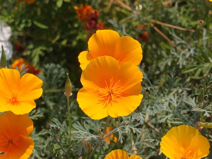 lilled, Emajõe luht, lillepeenar, eschscholzia, Oranžid lilled, lill, Aed lill