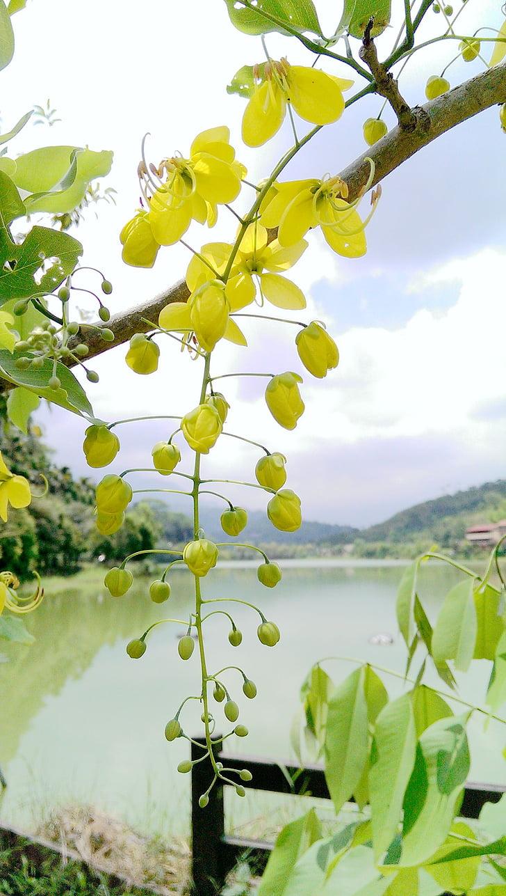 zelta lietus koku, Kim bildināt, puķe, Cassia fistulu, desa koks, hematoksilīnu filiāle, Cassia