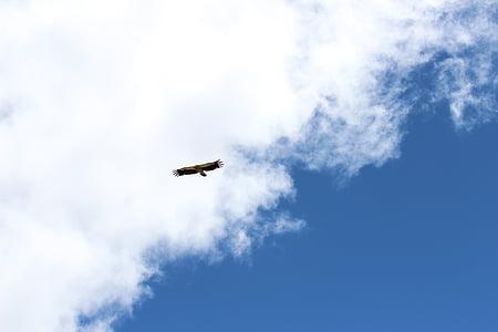 Àguila, cel, volar, Falcó