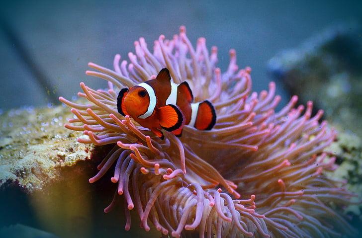 peix Anemone, Peix pallasso, Amphiprion, peix, Aquari, criatura d'aigua, món submarí