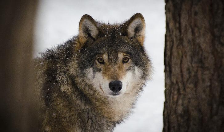 wolf, predators, wildlife, winter, wolves, zoo, animal life