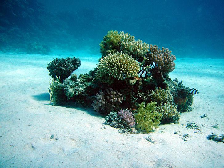 Coral, undervattens oas, havsbotten, dykning, Underwater, vatten, havet