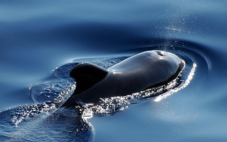 Wal, morski sisavci, pilot kit, meeresbewohner, Sisavci, vode, Blas