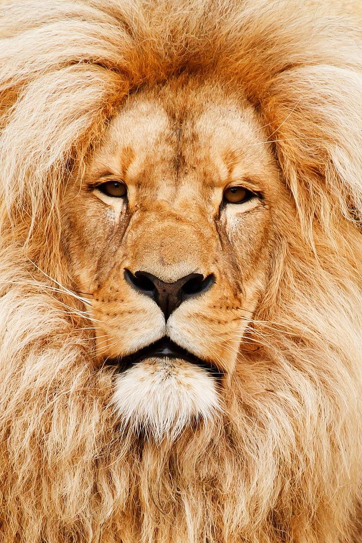 Африка, африкански, животните, котка, едър план, детайли, око