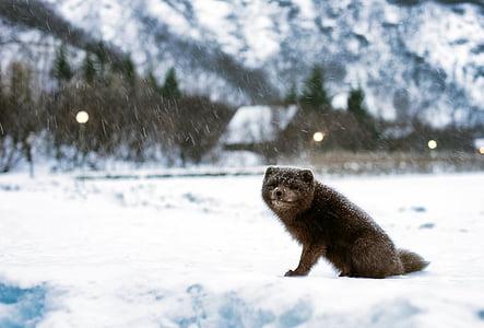 Исландия, арктическа лисица, пейзаж, зимни, сняг, сняг, времето