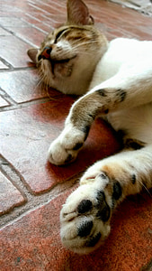 pota, dormint, animal, gat, migdiada, animal de companyia, domèstic