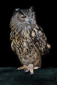 бухал, птица, нощ, животните, пера, дива природа, природата