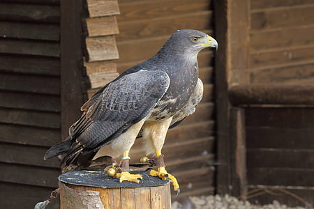 raptor, bird of prey, bird, birds of prey show, birds, buzzard, hawk