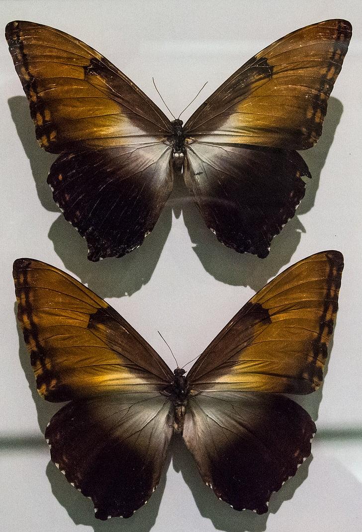 Perhoset, hyönteinen, perhonen, Luonto, Sulje, kokoelma