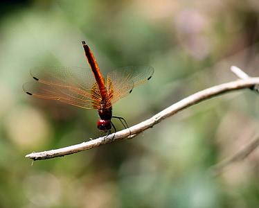 libèl·lula, insecte, ala, volar, error, salvatge, fragilitat
