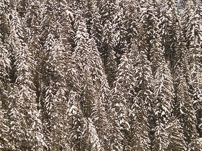 fir, firs, snowy, fir forest, tree, winter, snow