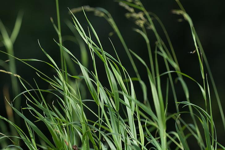 χλόη, πράσινο, χόρτα, φυτό, φύση, υψηλή χλόη, το καλοκαίρι