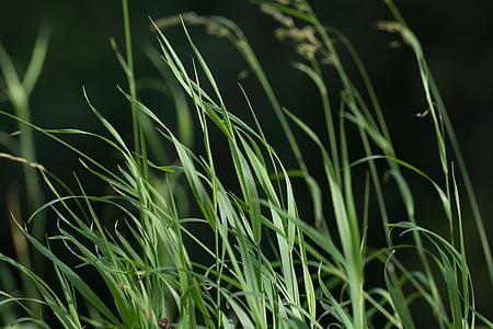 tráva, Zelená, tráv, rastlín, Príroda, vysokej trávy, letné