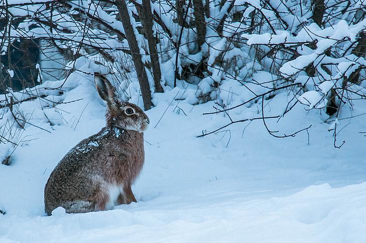winter, hare, fur, snow