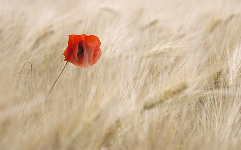 poppy, blossom, bloom, cereals, field, summer, individually