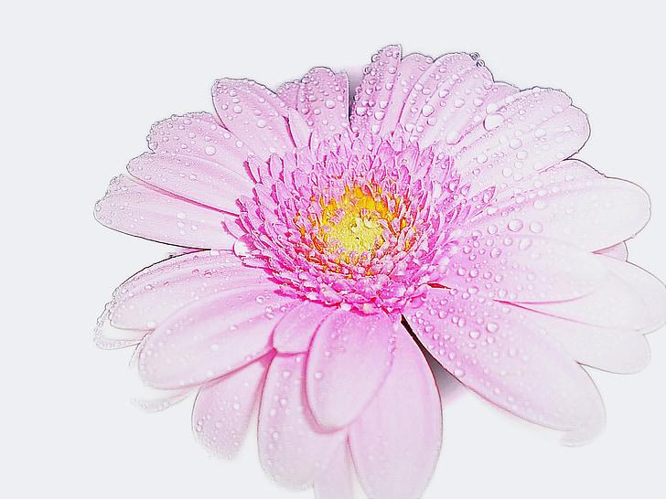Rosa, Gerbera, flor, romàntic, fragància, natura, bellesa