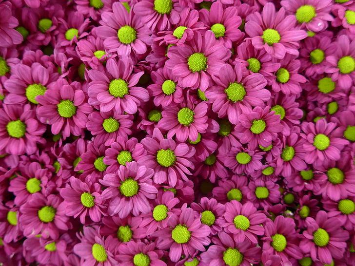 chryzantéma, kvet, fialová, Zelená, kvety, Kvetinárstvo, Violet