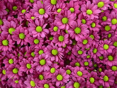 crisantem, flor, porpra, verd, flors, floristeria, violeta
