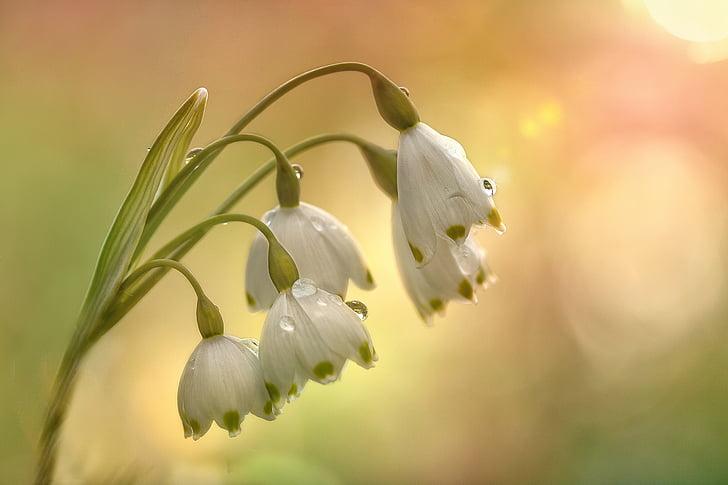 fruehlingsknotenblume, pomlad, cvet, snežinka, spomladi cvet, cvet, maerzgloeckchen