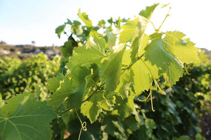 vinyes, Provença, llum