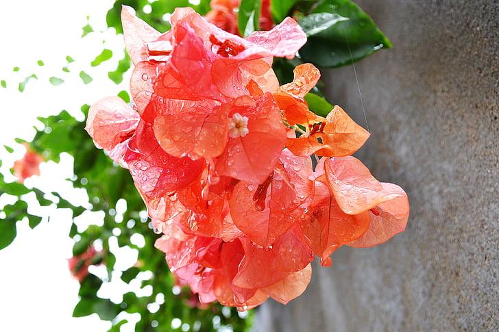 Бугенвиль, бугенвиллеями, Цветы, цветок, Природа, Салон красоты, любовь