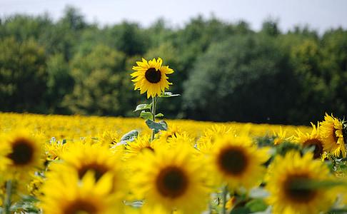päevalill, Helianthus annuus, kollane, lill, seemne, värvilised