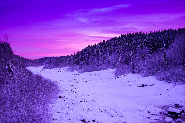Pinheiro, árvores, em torno, neve, pôr do sol, cena, roxo