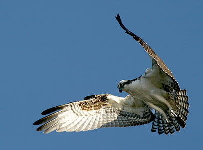 Osprey, lintu, Wildlife, Luonto, leijuu, lento, Flying