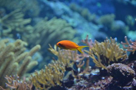 peix, Dory, l'aigua, Aquari, peixos d'aquari, blau, Mar