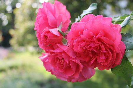 上升, 花, 开花, 绽放, 粉红玫瑰, 玫瑰绽放, 玫瑰花园